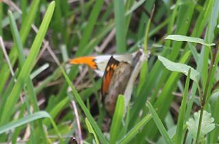 普久川の滝 蝶